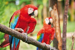 ecuador-papagei1