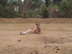 chilliges Känguru
