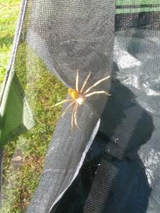 medium sized spider