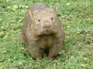 oz-volunteer-CVA-wombat