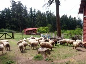 Schafe der Campbell-Farm