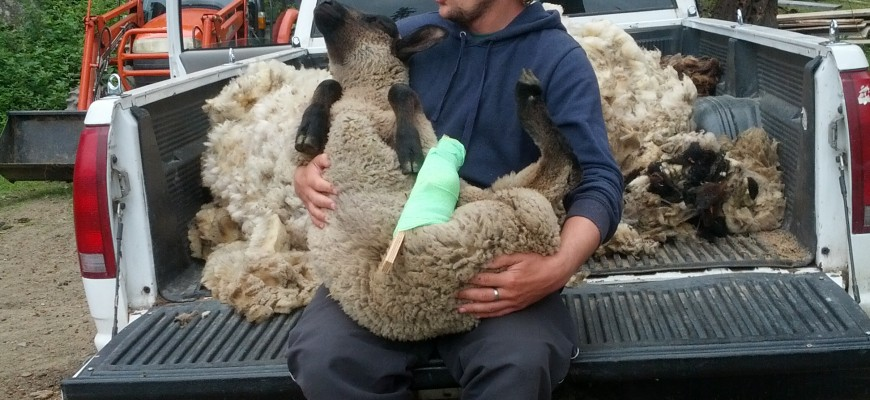 nils taking care of an injured sheep