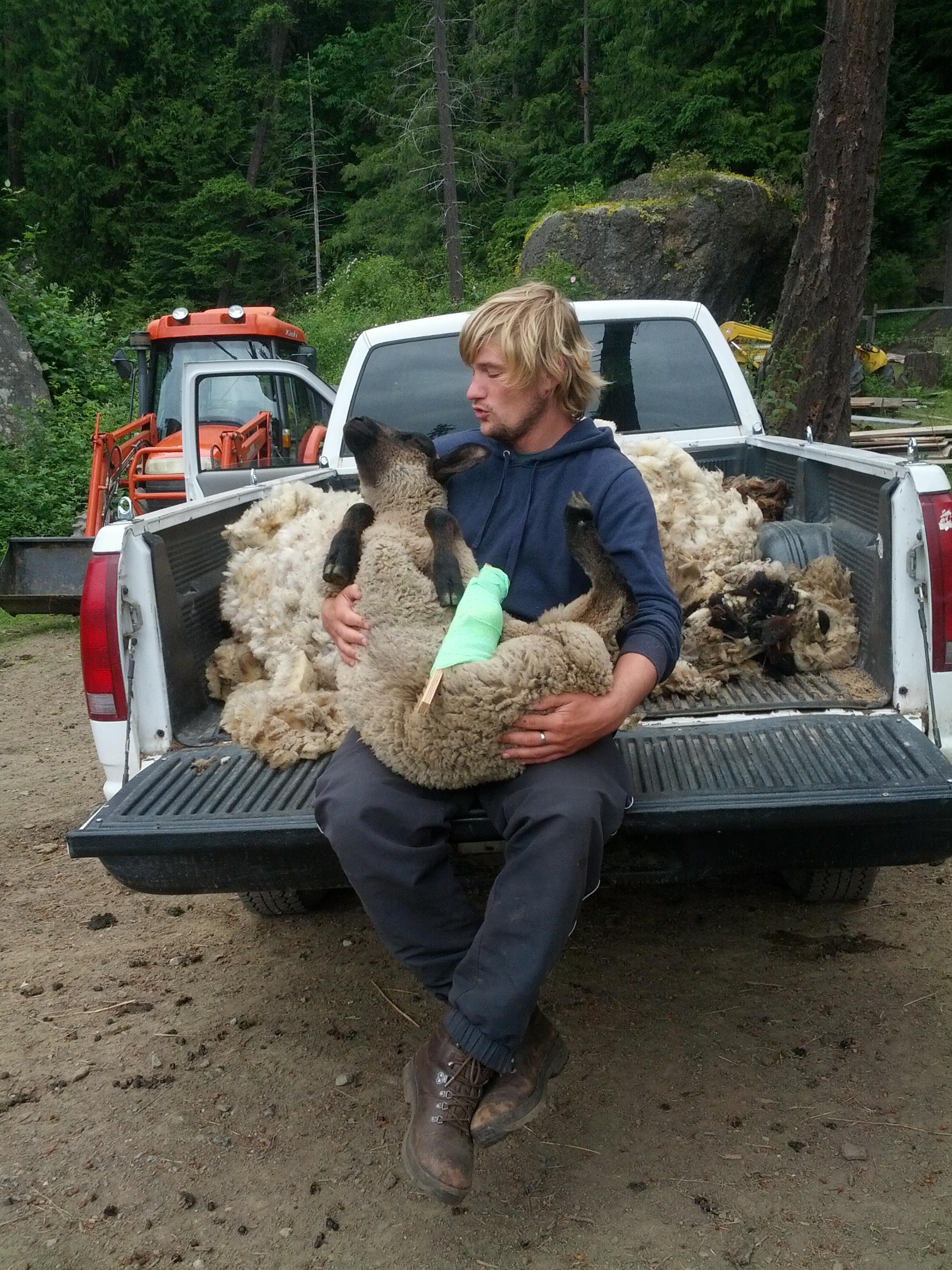 nils taking care of an injured sheep