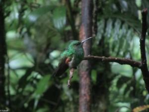 Kolibri in Monteverde