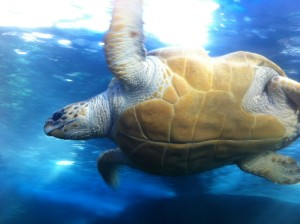Riesen-Schildkröte im Two Oceans Aquarium