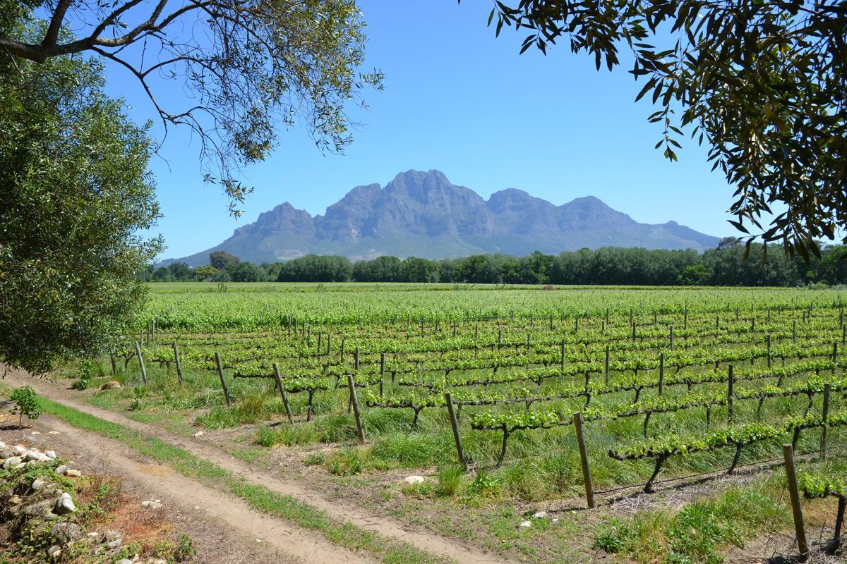 Typische Wein-Landschaft in Südafrika