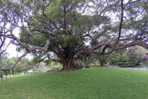 Riesiger, verwurzelter Baum in den Royal Botanic Gardens