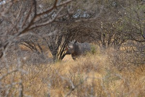 Das zu schützende Breitmaulnashorn im Umkwali-Reservat