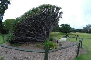 Bizarrer Baum und seltsamer Vogel in den Botanischen Gärten