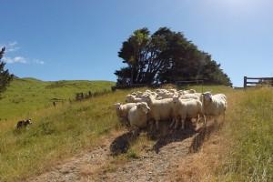 Schafe in der Falle – umgeben von Hunden und uns