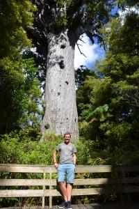 Die alten, hohen und dicken Kauri-Bäume