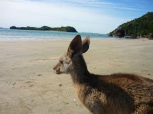 oz-TW58890-kangaroo-am-strand