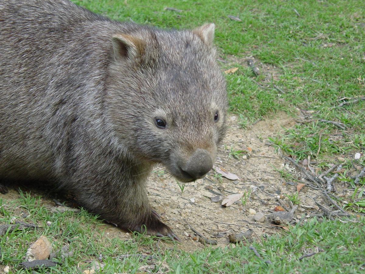 wombat kot