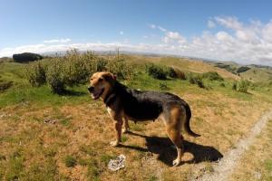 Hört nur auf Pfiff: Neuseeländischer Schäferhund