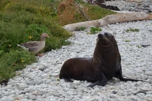 Eine wütende Robbe in Kaikoura