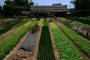 Die Kräutergärten von Tra Que bei Hoi An