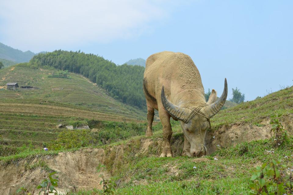 Ein grasender Wasserbüffel