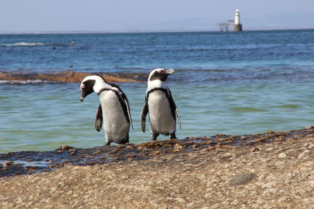 TravelWorks-Kapstadt-Pinguine