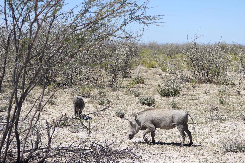 TravelWorks-Namibia-Warzenschweine