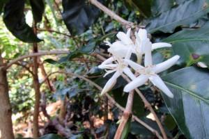 Kaffeeplantage-(3)