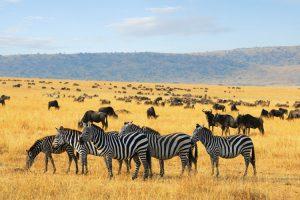Zebras-Kenia