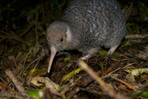 nz-Zealandia-promotion-ONLY-kiwi-(2)