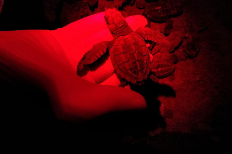 1542512-FW-CR-Steven-Hirst---Die-unzähligen-Nachtschichten-machen-sich-bezahlt,-wenn-man-die-kleinen-Olive-Ridley-Schildkrötenbabies-sehen-darf