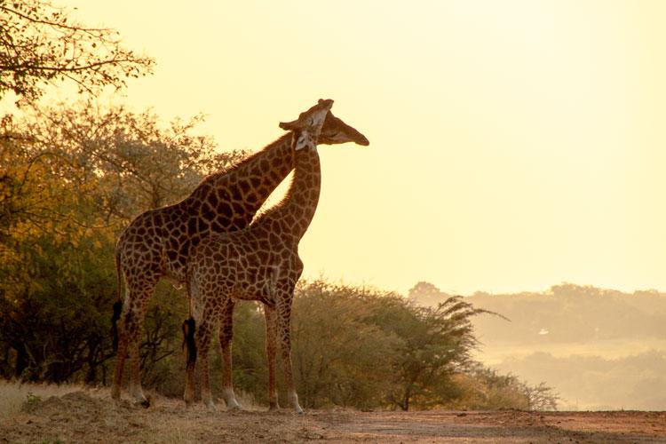 1624817_fw_ZA_safarifahrten-am-frühen-abend-haben-den-vorteil,-dass-sich-in-der-goldenen-stunde-schöne-motive-finden-lassen,-wie-hier-mit-diesen-beiden-giraffen