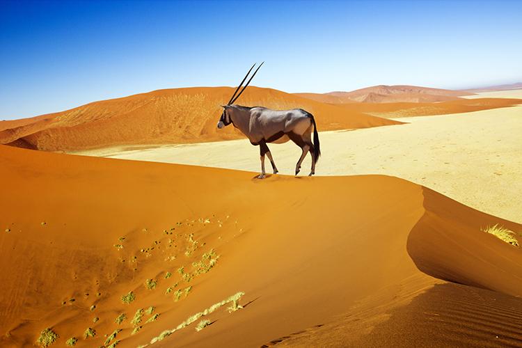 Einige Dünen im Sossusvlei sind bis zum 300m hoch - ein anstrengender Weg nach oben, aber dieser Oryx-Antilope scheint der Ausblick die Mühe wert zu sein.