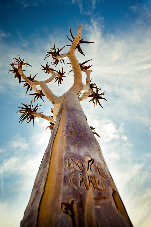 Der Köcherbaum ist das Wahrzeichen Namibias. Er kann bis zu 400 Jahre alt werden, wächst aber erst ab etwa 20 Jahren in die Höhe und bildet Äste aus.