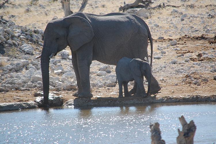 Wasserlöcher sind ein beliebter Treffpunkt. Nicht nur Elefanten, sondern auch Gnus, Zebras und Antilopen teilen sich hier friedlich das wertvolle Lebenselixier.
